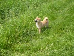 Hanshu dans l'herbe